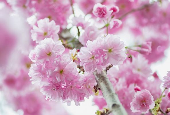 2019-03-24T165725Z_2104575612_RC15CD7AEF80_RTRMADP_3_SPRING-CHERRYBLOSSOMS-SINGAPORE-860x580-c-1
